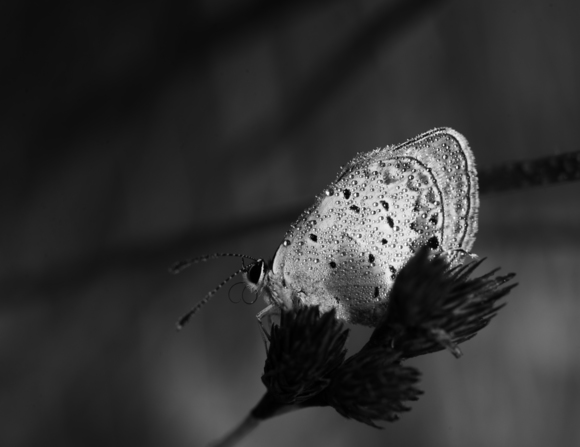 Dew Covered Butterfly