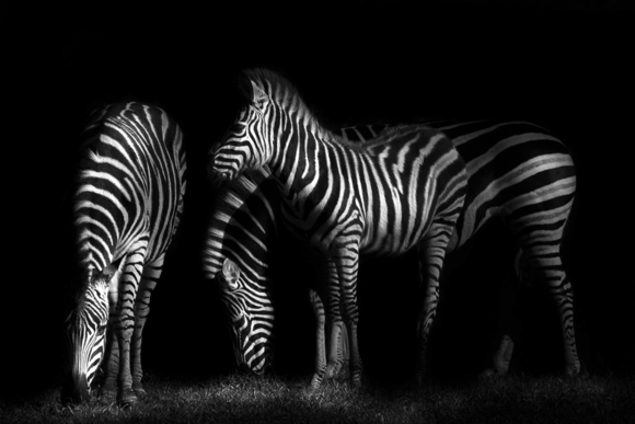 Zebras at Night