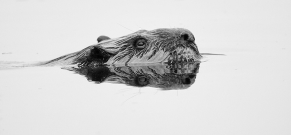 Reflections of a Beaver