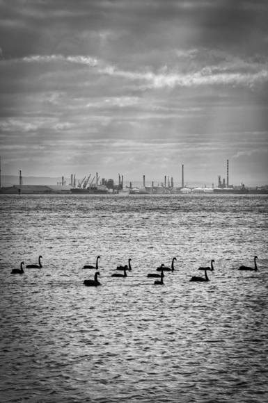Swans and Shell