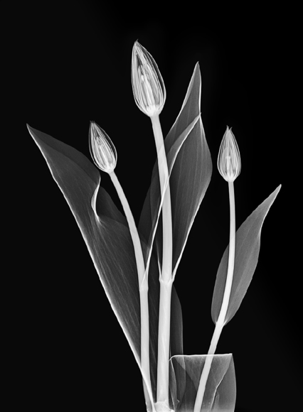 Three Tulips Xray