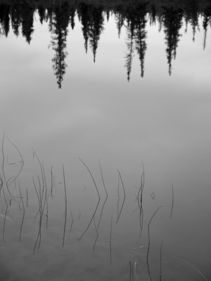 Reeds and reflected trees
