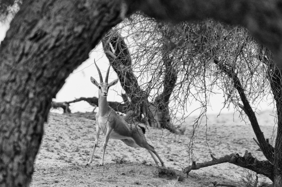 Gazelle in the Thar Desert I