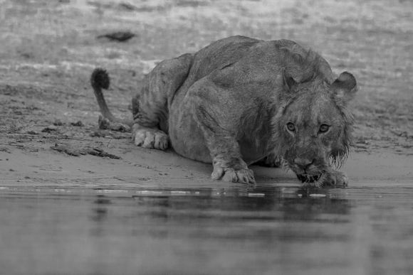 Killer at Chobe
