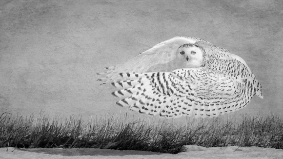 Hover, Snowy Owl