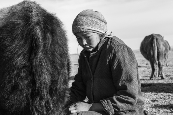 Girl Milking Cow, Mongolia