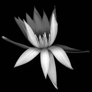 Waterlilly 1