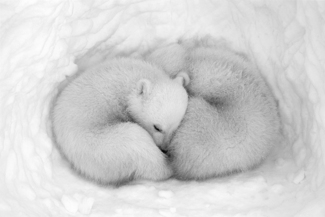 Twin Cubs in a Snow Den #3