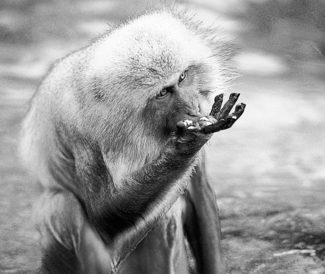 Snow Monkey's Mealtime