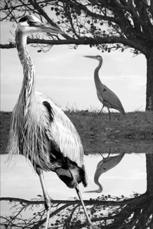BW Blue Heron Reflections