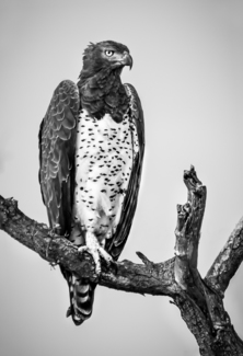 African Martial Eagle