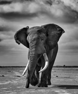 African Elephant in Musth