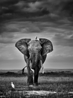 The Elephant and the Egrets.