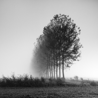 Simply trees in the fog