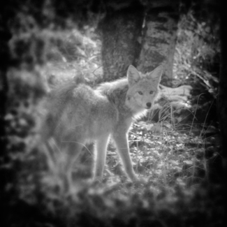 Coyote In The Forest