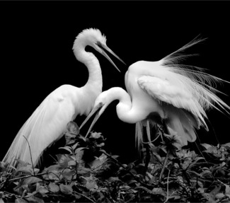 2 Great Egrets #7