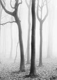 Misty Beech Wood