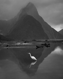 White Heron, Milford Sound