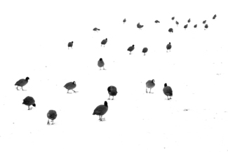 March of the coots