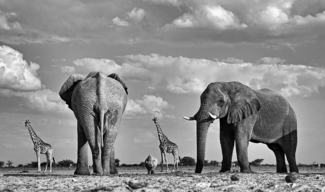 Elephants, giraffes and a rhino