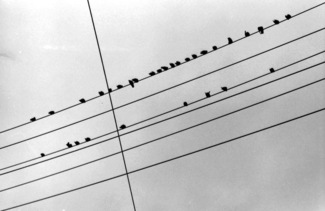 Crossed Wires with Birds