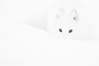 Arctic Eyes