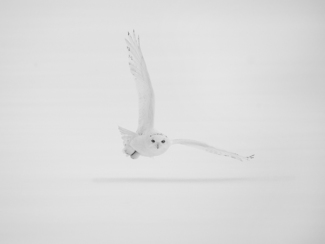 Hunting Male Snowy Owl