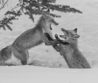Sparring Red Foxes