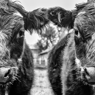 Two Faces Of A Cow