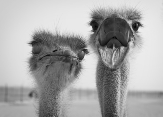 Funny Ostrich Couple