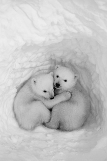 Twin Cubs in a Snow Den #1