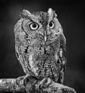 Portrait of a screech owl