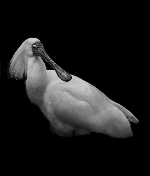 Portrait of a Royal Spoonbill