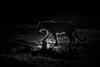 Backlit Leopard at Night in the African Wilderness