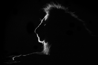 Backlit Lion on Dry African Riverbed
