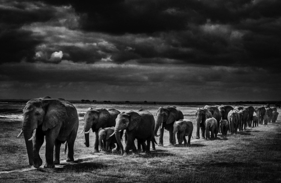 Elephants Crossing the Plain I