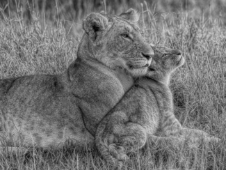 Lion Baby with Mother