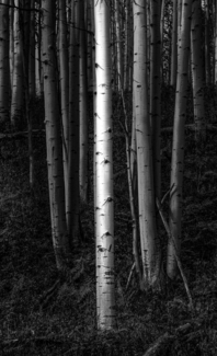 Aspen in Light