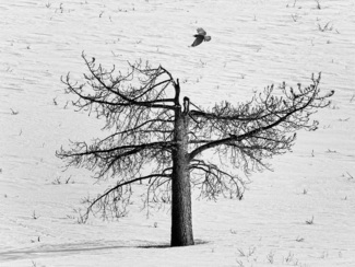 dead tree and raven