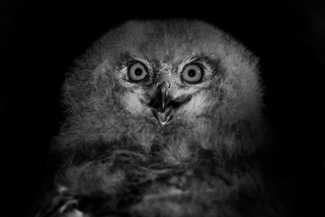 Astonished Owl Chick