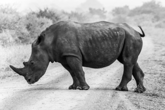 Rhino At The Crossroads