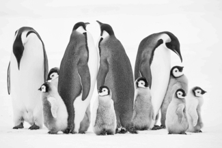 Emperor Penguins in Conference