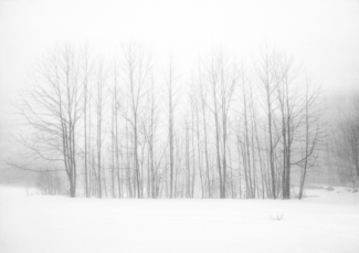 Poplar Trees Winter Fog