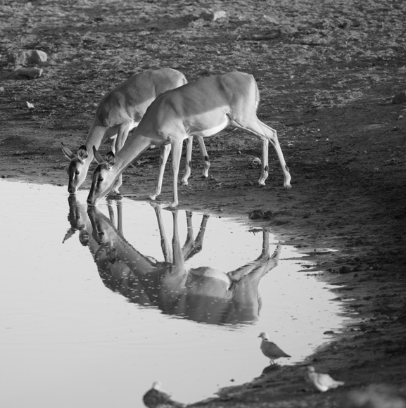 Impala Reflection