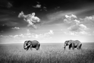 Two elephants in the field