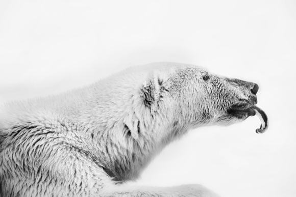 Polarbear in the Arctic 1