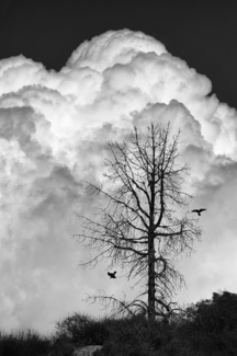 Dead Tree With Crows