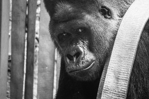 The sweet gaze of the gorilla