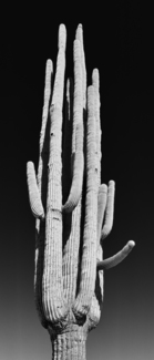 Happy Saguaro