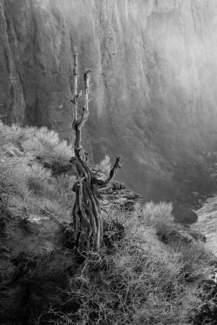 The Canyon Tree
